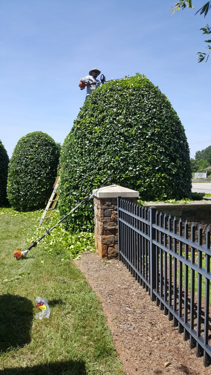Shrub trimming and pruning is part of our annual contract