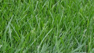 Fescue Lawn Turf Program